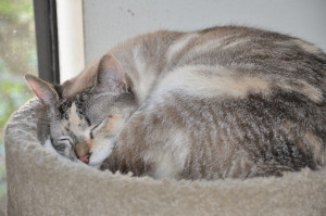 Sleeping cats - dilute tortie, lynx point Siamese mix