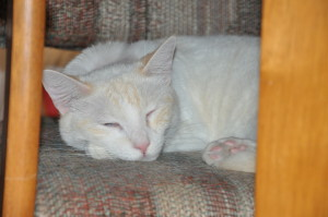 Sleeping cats - flame point Siamese mix