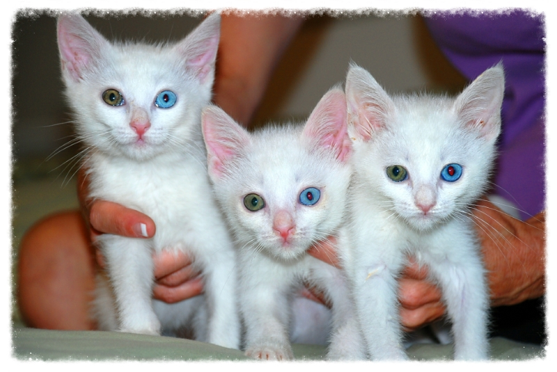 Three gorgeous, odd-eyed kittens