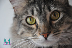 Tabby close-up