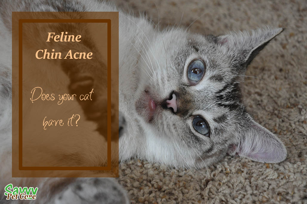 Feline chin acne is a fairly common condition in cats. It can effect any cat regardless of age, sex, or breed. Learn the symptoms and treatment.