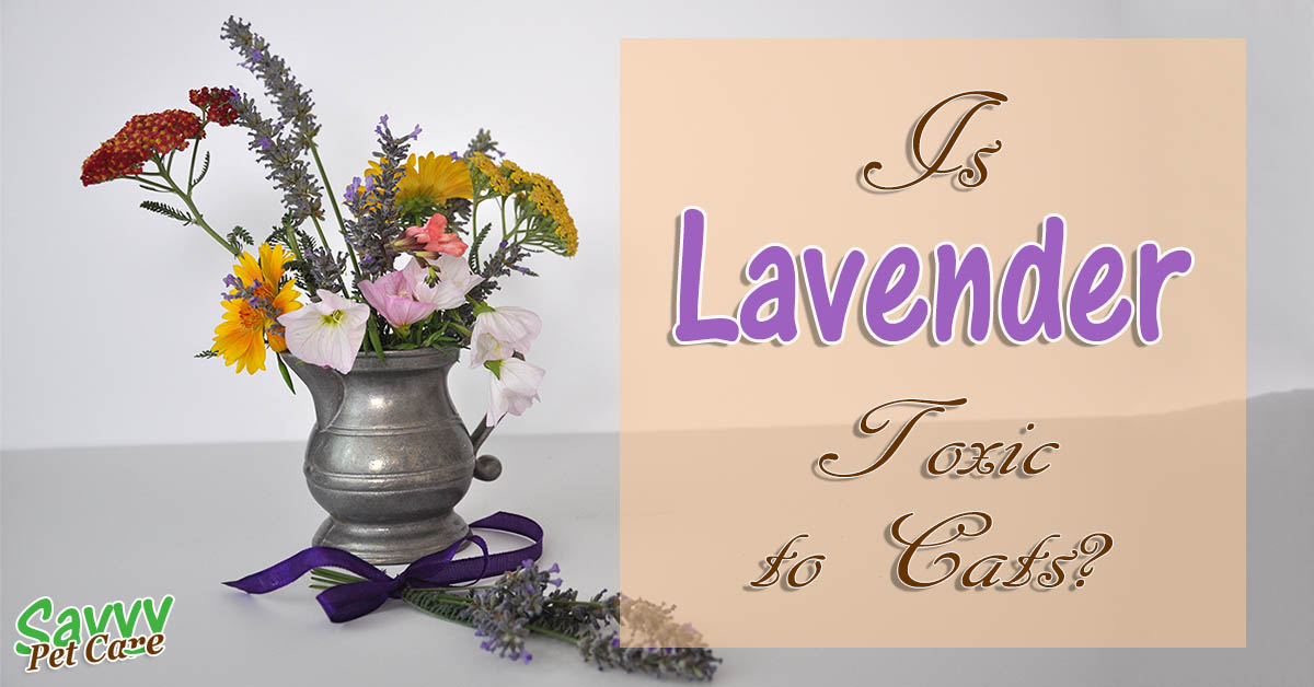 Is lavender toxic to cats? flowers, lavender and title