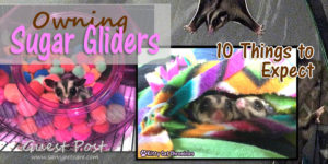 "Sugar gliders are ""squee"" cute and lots of fun, but are they right for you? Learn the top 10 things to expect when you own sugar gliders."