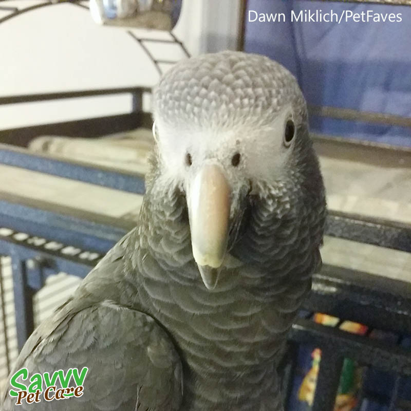 African grey parrot -- Facts about Parrots: 5 Questions to Ask Before You Get One