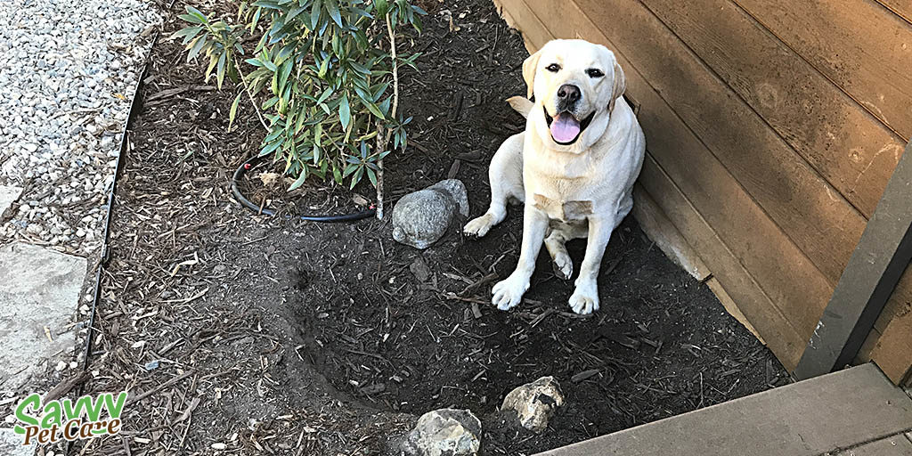Happy lab sitting next to the hole he dug