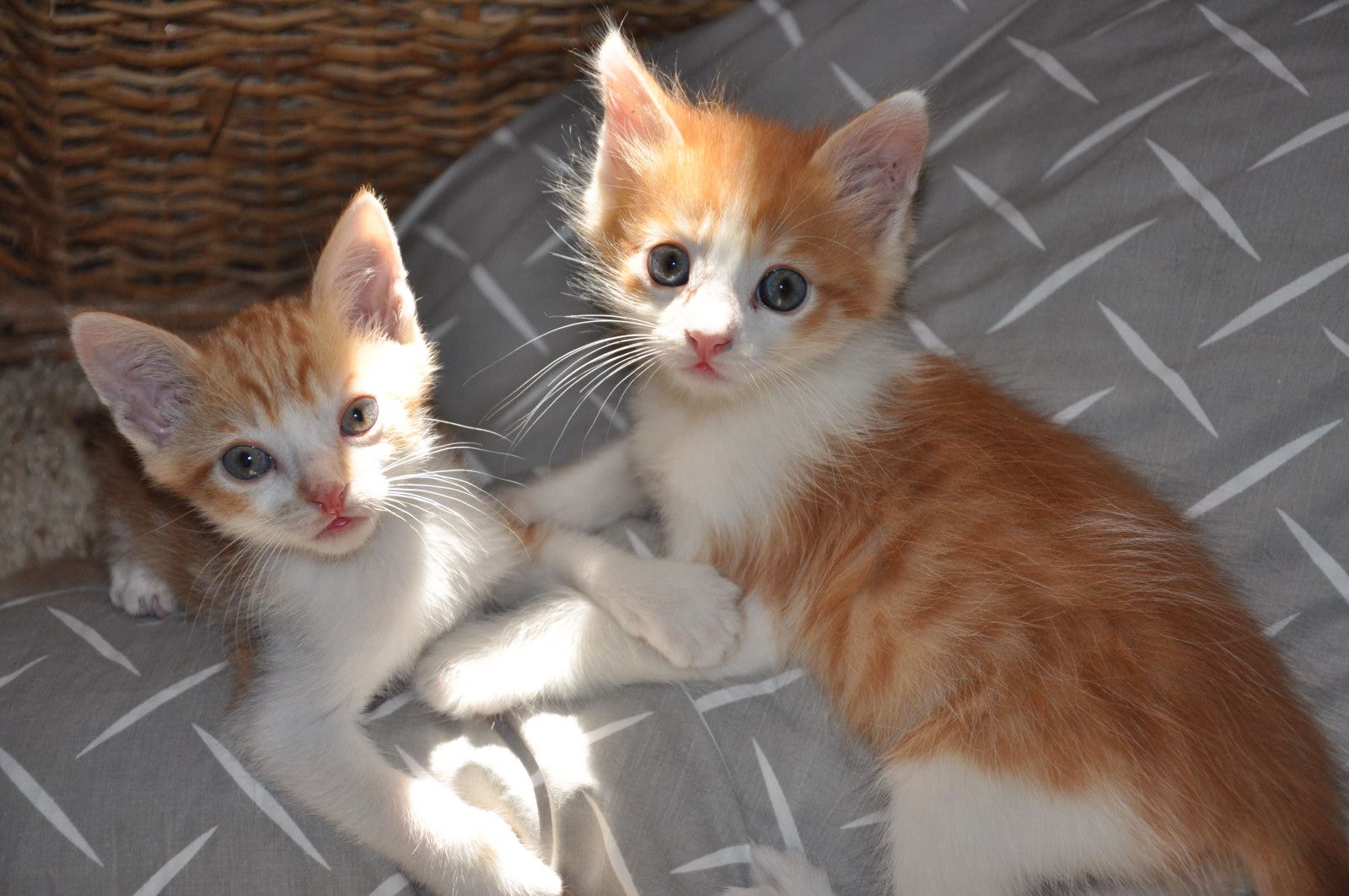 Cute kittens - orange and white
