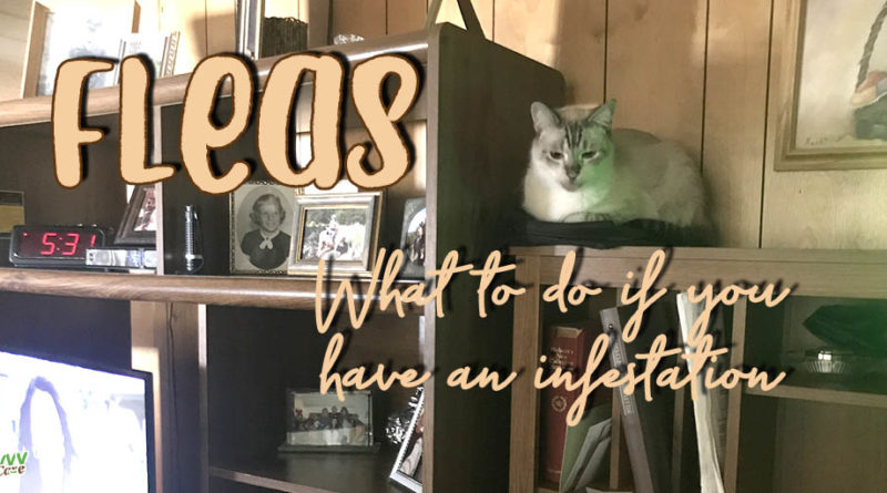cat on a bookshelf with text overlay: fleas what to do if you have an infestation