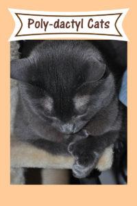 Poly-dactyl cat