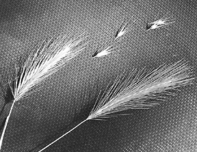 Foxtails -- Danger is Not Just for Outdoor Pets