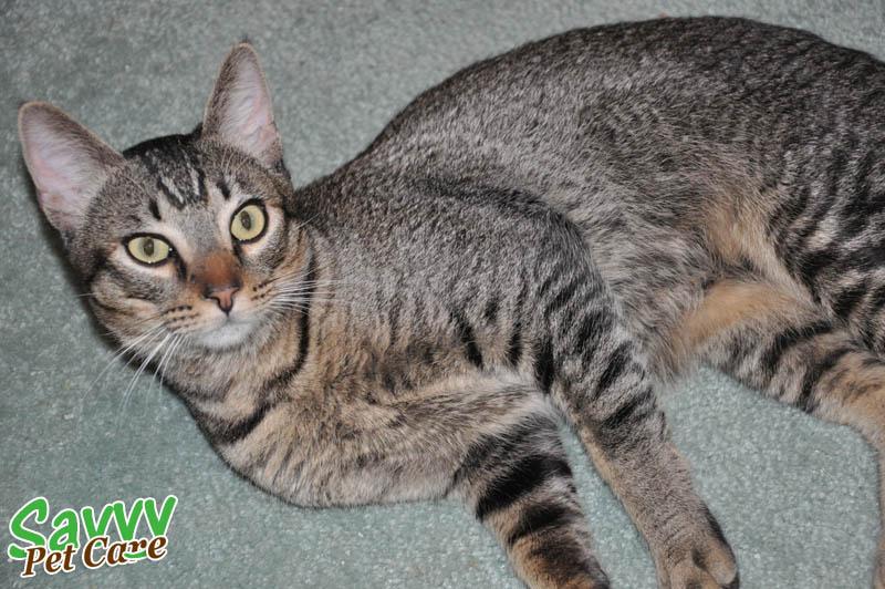 Gray White Cat Personality
