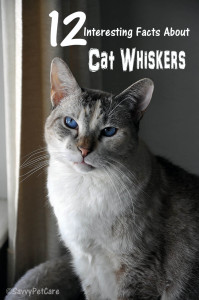 Cat Whiskers 12 Interesting Facts
