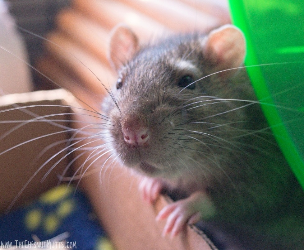 Pet rat Delmar - male rat