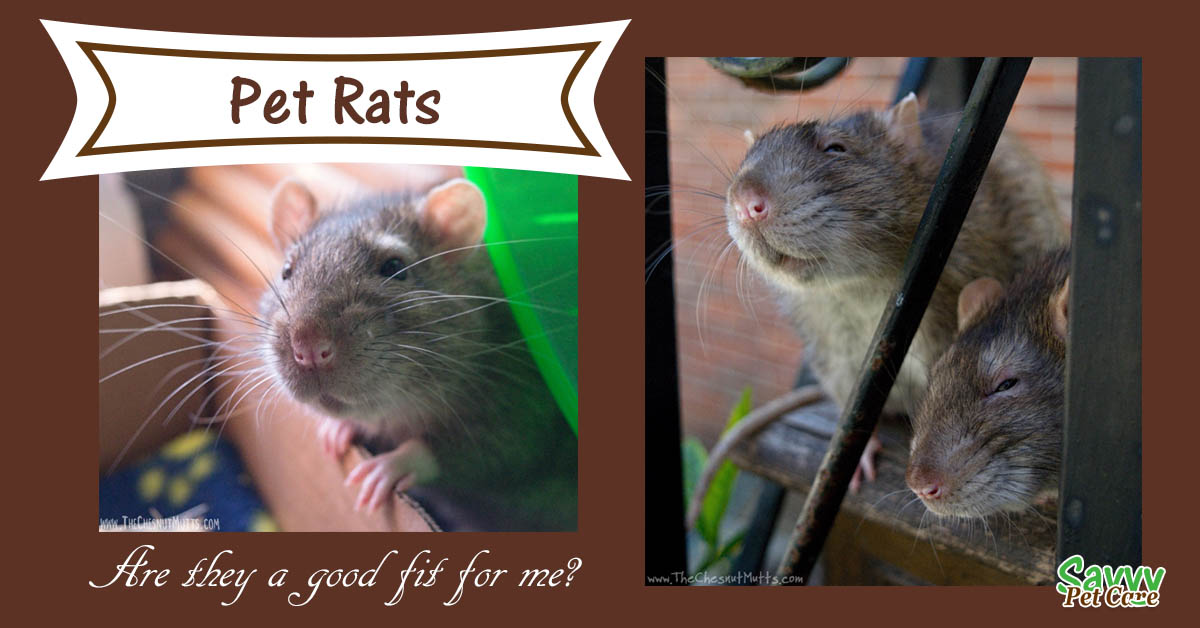 Are Pet Rats a Good Fit for Me?
