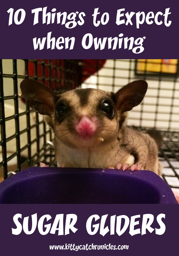 """Sugar gliders are """"squee"""" cute and lots of fun, but are they right for you? Learn the top 10 things to expect when you own sugar gliders. #pets #pocketpets #sugargliders"""