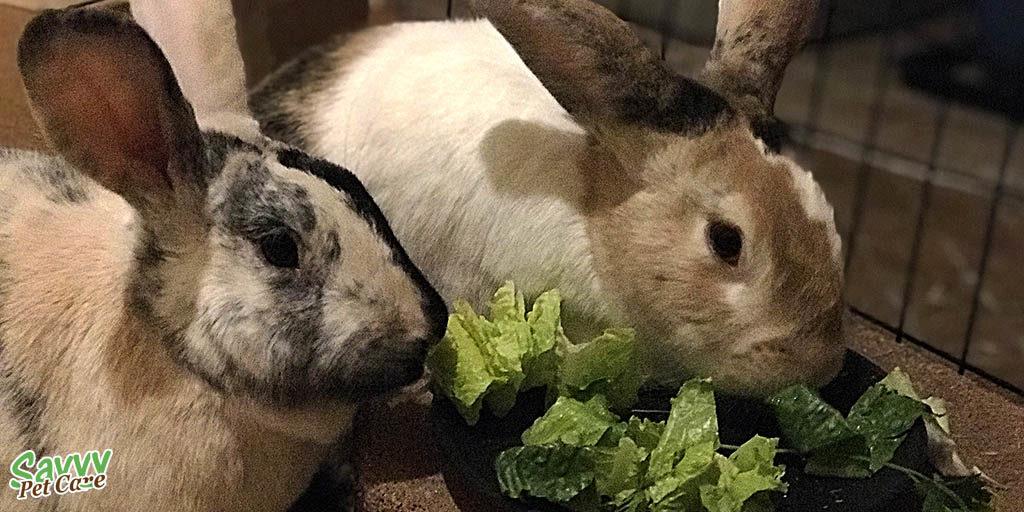 Two pet rabbits eating bunny salad