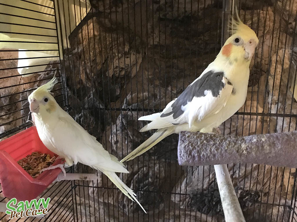 Cockatiels -- Facts about Parrots: 5 Questions to Ask Before You Get One