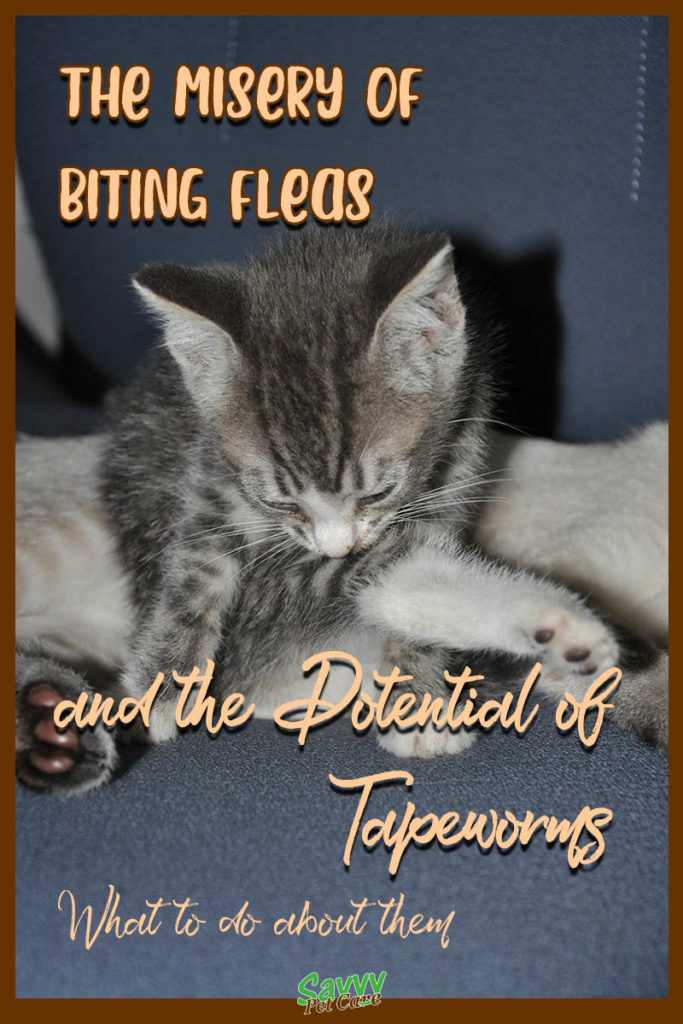 kitten licking and chewing at its leg with text overlay: misery of biting fleas and the potential of worms