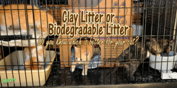 kittens in a crate with text overlay: Clay litter or biodegradable litter Do you know which is better for your cat?