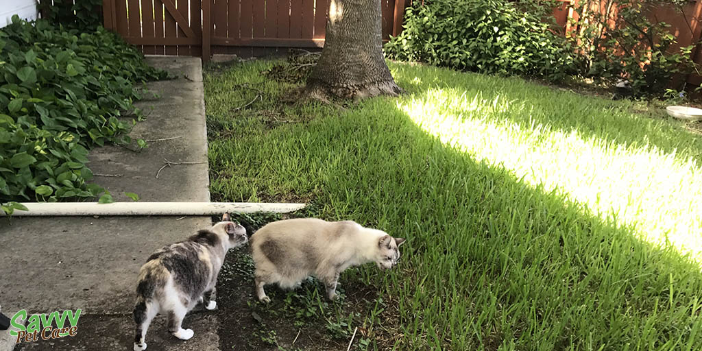 two cats on lawn with one eating grass
