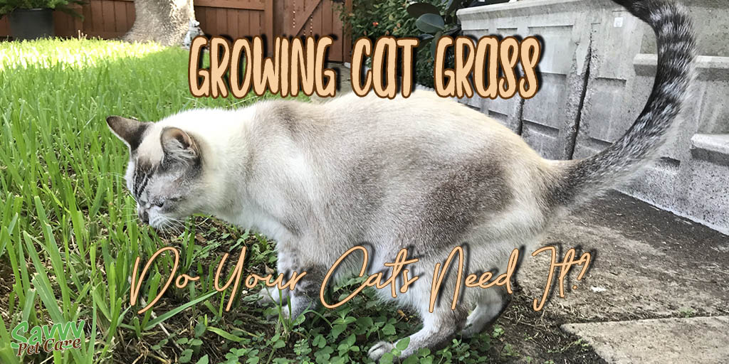 lynx point Siamese cat eating grass with text overlay: Growing Cat Grass Do Your Cats Need It?