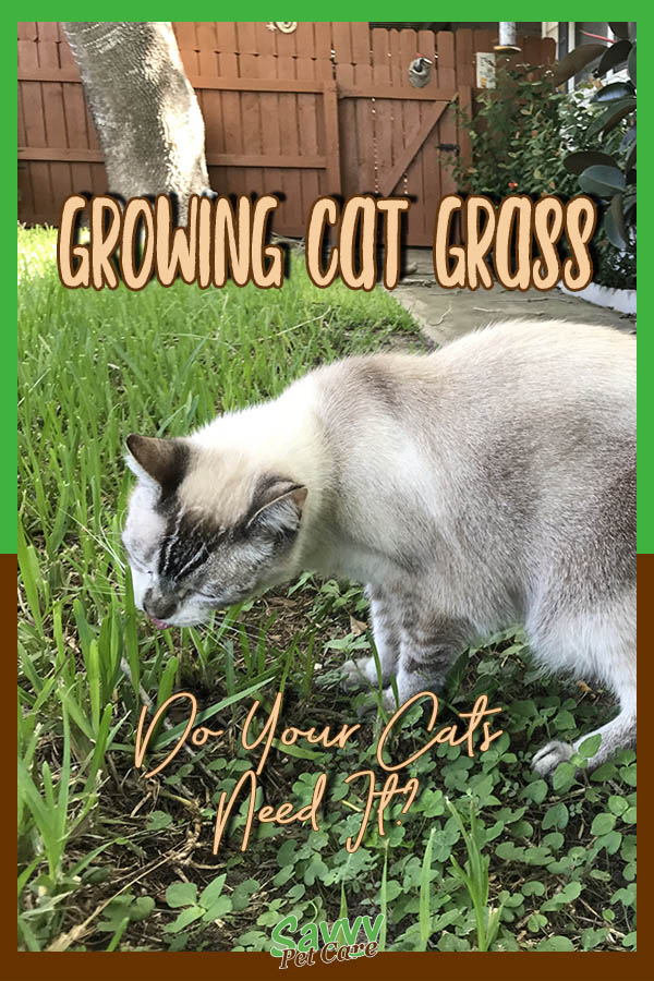 lynx point Siamese cat on lawn eating grass with text overlay: Growing Cat Grass Do Your Cats Need It?