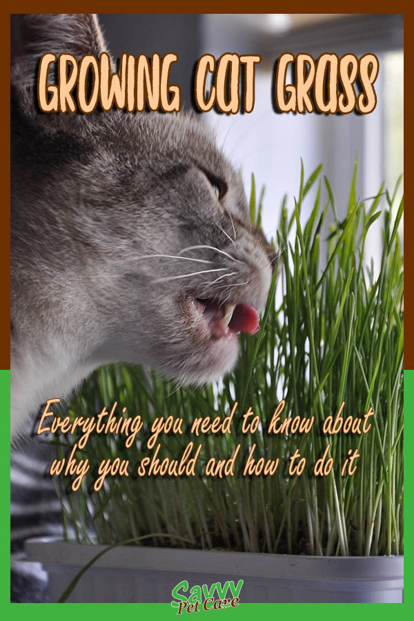 Cat eating cat grass with text overlay: Growing Cat Grass Everything you need to know about why you sould and how to do it