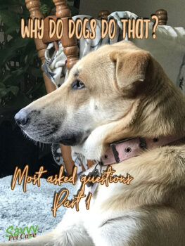 dog profile with text overlay: Why do dogs do that? Most asked questions, part