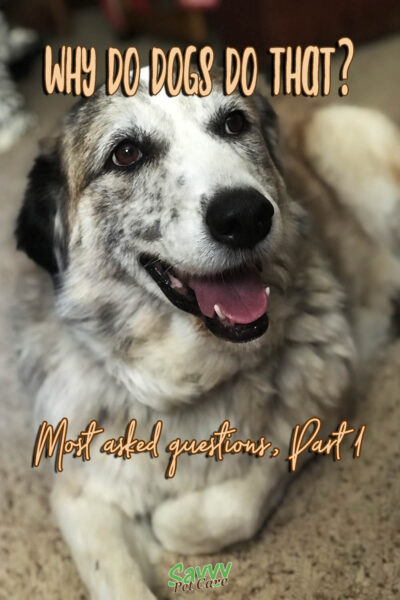 dog with text overlay: Why do dogs do that? Most asked questions, part 1